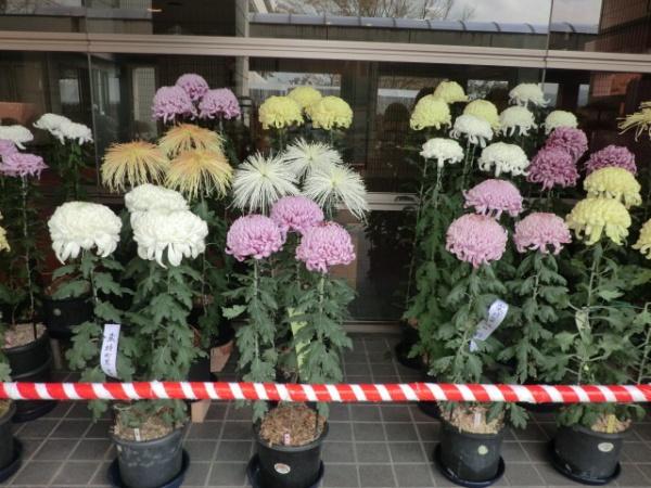 名張菊花展